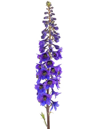 Delphinium flower isolated on a white background Stock Photo