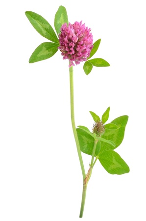 trifolium: Pink clover flower isolated on white background