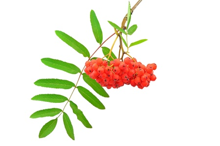 sorb: Branch of the rowan berries isolated on white background