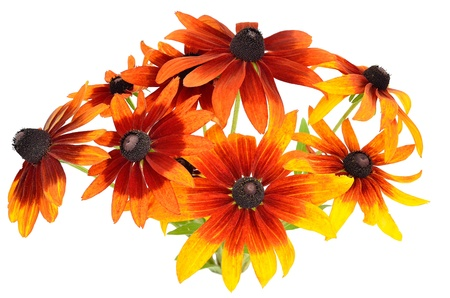 Bouquet of colorful rudbeckia flowers isolated on white background Stock Photo - 15093263