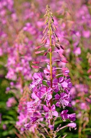 angustifolium: The pink flowers Chamerion angustifolium  Stock Photo