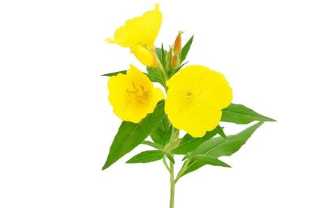 Oenothera flower isolated on white background Stock Photo