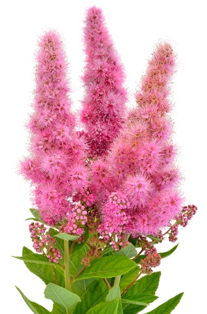 Bouquet of astilbe flowers isolated on white background photo