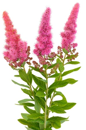 apical: Bouquet of astilbe flowers isolated on white background Stock Photo