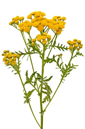 Tansy  Tanacetum Vulgare  flowers isolated on white background Stock Photo