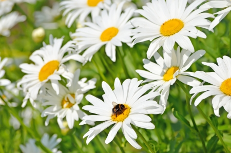 Beautiful chamomile flowers in the garden photo