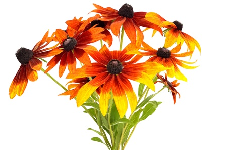 Bouquet of colorful rudbeckia flowers isolated on white background photo