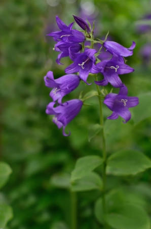 The beautiful campanula flower in the garden photo