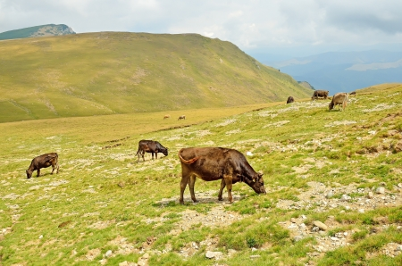 Cows on the pasture on the Carpathian Mountains, Romania  photo