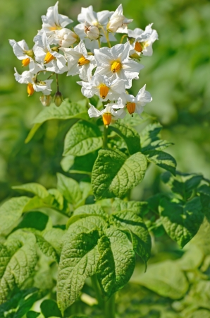 The flower of potato plant in a garden photo