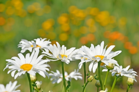 camomiles: Chamomile flowers in the garden Stock Photo