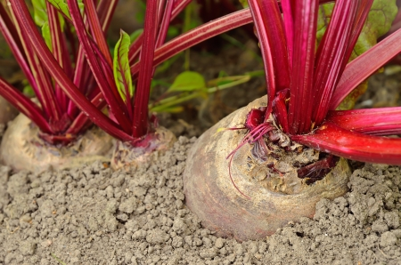 Close up beetroot in a vegetable garden photo