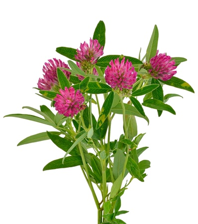 Pink clover flowers isolated on white background Stock Photo - 16536383