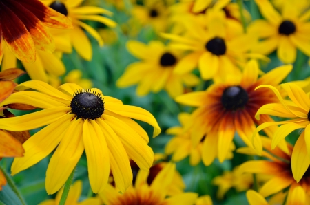Rudbeckia flowers in the garden Stock Photo - 16630615