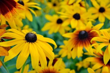 Rudbeckia flowers in the garden Stock Photo - 16630615
