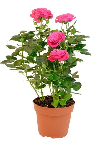 Rose rose dans le pot de fleurs isolé sur fond blanc