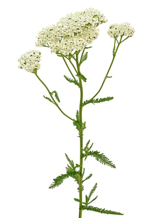 Achillea millefolium isolated on white background