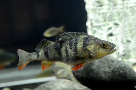 European perch  Perca fluviatilis  fish  Stock Photo - 17905686