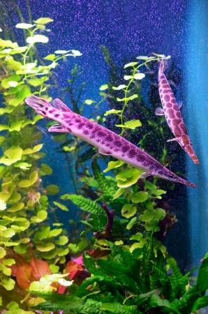 Florida gar fish in the aquarium Stock Photo - 17905714