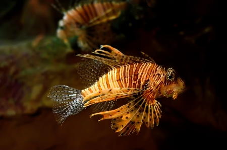 Red lion  Pterois miles  fish in an aquarium photo