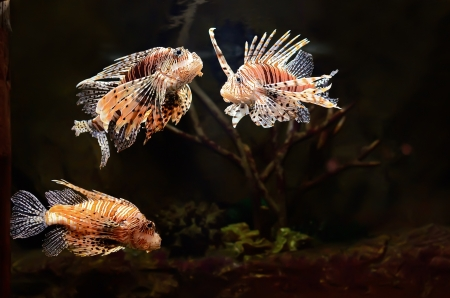 dragonfish: Red lion  Pterois miles  fish in aquarium Stock Photo