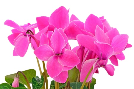 Close up cyclamen flowers isolated on white background photo