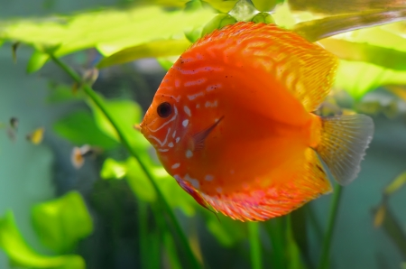 Red discus fish in the aquarium photo