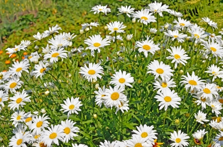bush to grow up: Chamomile flowers in the garden Stock Photo