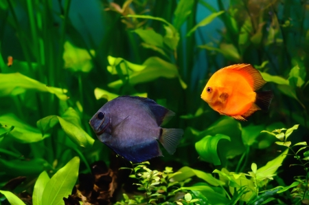 Blue and red discus fish in the aquarium photo