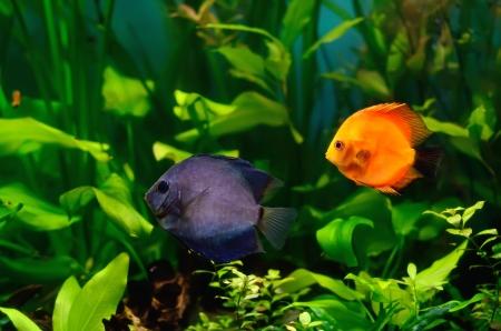 fishtank: Blue and red discus fish in the aquarium