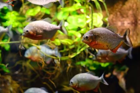 Tropical piranha fish in the aquarium photo