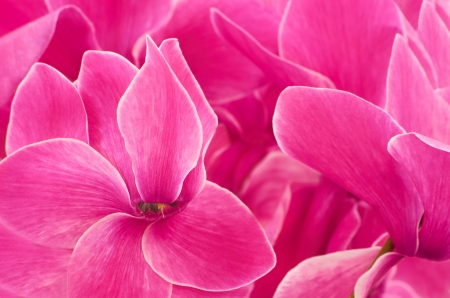 Close up cyclamen flowers background
