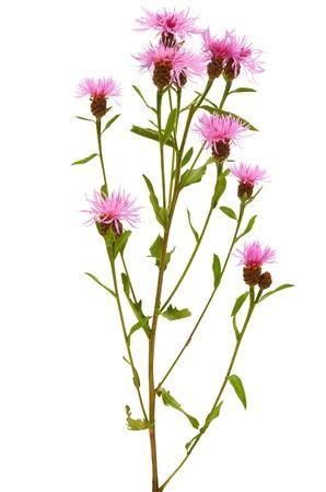centaurea: Cornflower (Centaurea jacea) isolated on white background