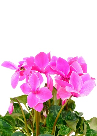 Cyclamen flowers isolated on white background photo
