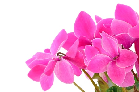 Close up cyclamen flowers isolated on white background, selective focus photo