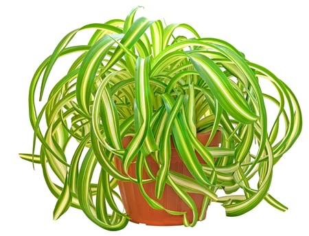 Chlorophytum in flowerpot isolated on white background