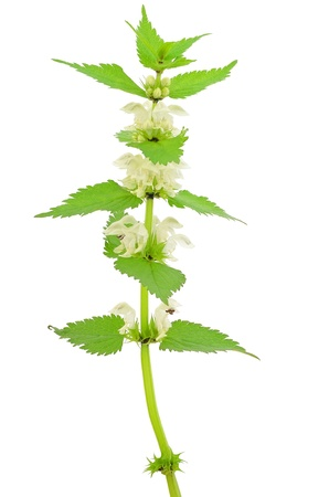 Stinging nettle  Urtica dioica  isolated on white background