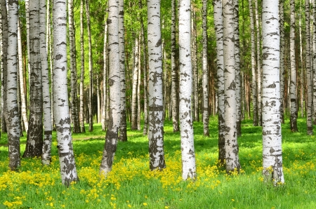 Birch trees in the spring park Stock Photo