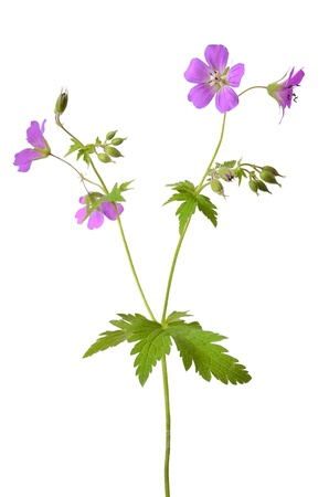 Meadow geranium  Geranium pratense  flower isolated on a white background Stock Photo