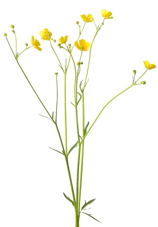 Ranunculus acris flower isolated on a white background Stock Photo