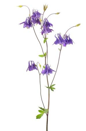 aquilegia: Aquilegia vulgaris flower isolated on white background Stock Photo