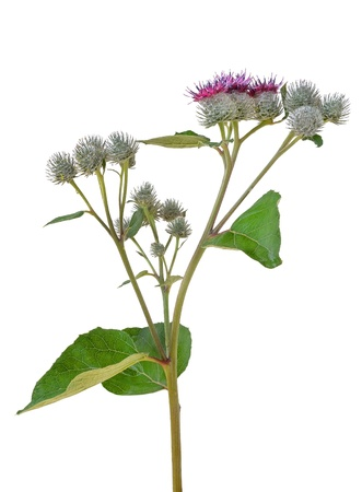 greater: Flowering Great Burdock  Arctium lappa  on a white background Stock Photo