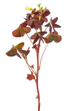 Oxalis triangularis flower isolated on white background photo