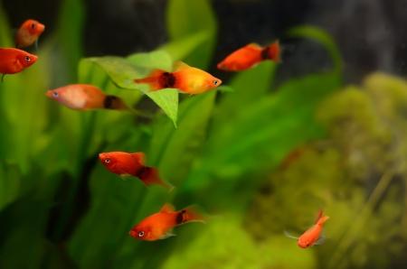 Xiphophorus maculatus fish in the aquarium Stock Photo