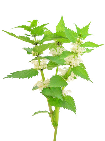 Stinging nettle  Urtica dioica  isolated on white background photo