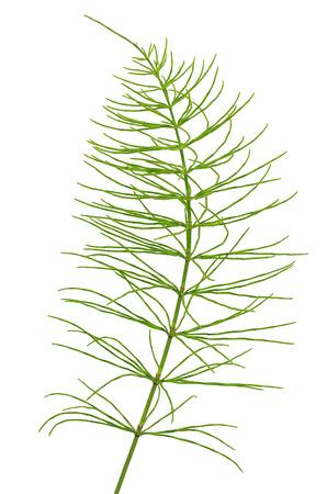 Equisetum arvense plant isolated on a white background