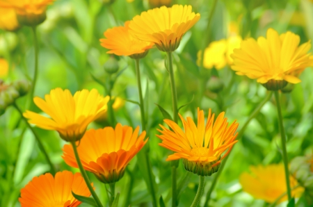 Close up of marigold flowers in the garden, selective focus photo