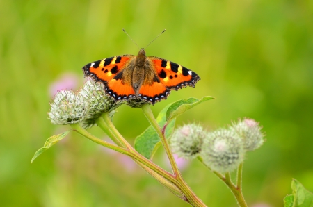 Butterfly  Aglais urticae  on Great Burdock photo
