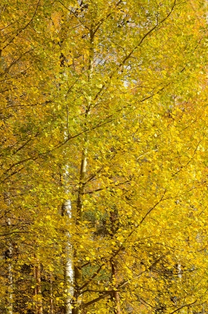 Birch branch with bright yellow autumn leaves photo