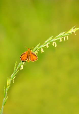 skipper: Skipper butterfly on a stalk of grass